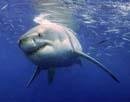 Άγριο πεδίο μάχης – Καρχαρίας