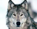 Άγριο πεδίο μάχης – Λύκος
